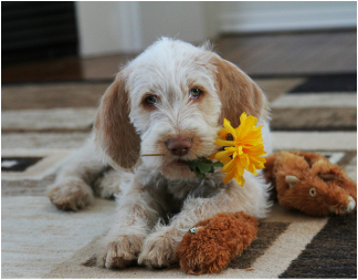 Puppy holding flower